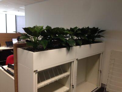 Caladium Plants